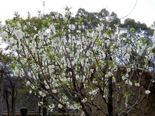 大阪城公園の桃園のハナモモ