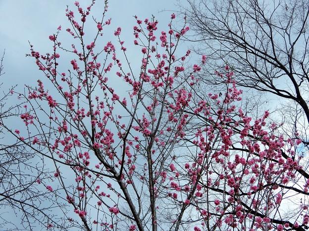 大阪城公園の桃園のハナモモ (1)
