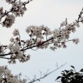 Photos: 花園中央公園に一足早く咲いた桜 (6)