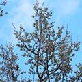 クヌギの芽吹き (2)