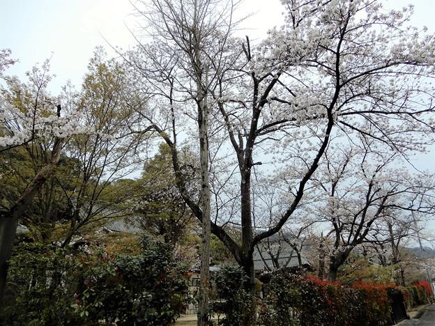 大龍寺の桜 (1)