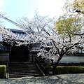 Photos: 専宗寺の桜 (1)