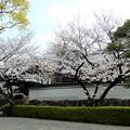 Photos: 専宗寺の桜 (2)