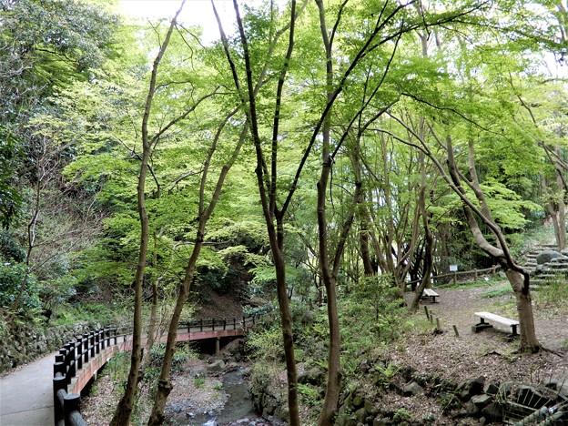 豊浦の谷の若楓