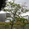 ハシドイ20200419 (3)