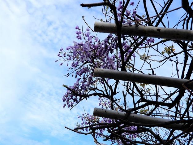 フジの花 (1)