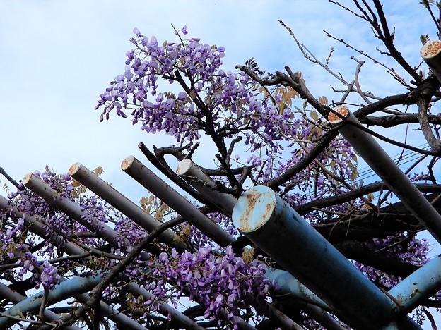 フジの花 (2)