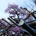 Photos: フジの花 (2)
