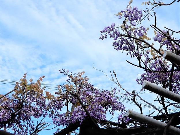 フジの花 (3)