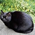 Photos: 黒猫やまと (2)