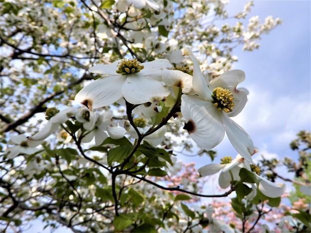 ハナミズキ(白花) (2)