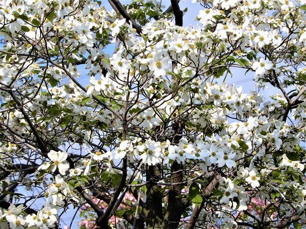ハナミズキ(白花) (3)