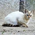 Photos: 白猫・池の島子 (2)