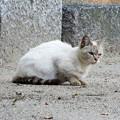 Photos: 白猫・池の島子 (3)