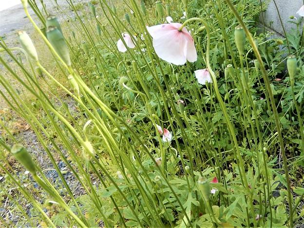 ヒナゲシ(ピンクかかった白色) (1)