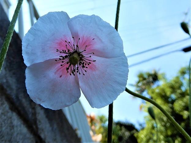 ヒナゲシ(ピンクかかった白色) (2)