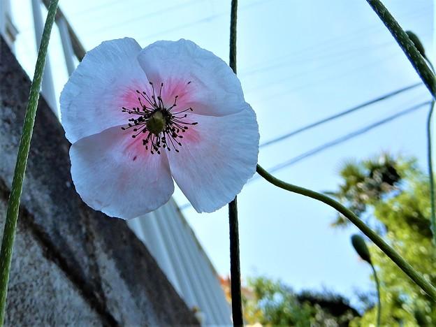 ヒナゲシ(ピンクかかった白色) (3)