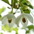 エゴノキの花 (2)