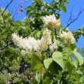 ハシドイの花 (1)