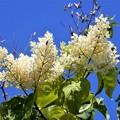 ハシドイの花 (2)