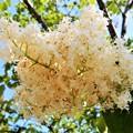 ハシドイの花 (3)