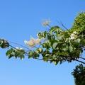 ハシドイの花 (4)