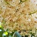 ハシドイの花 (6)