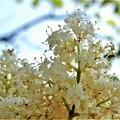ハシドイの花 (7)