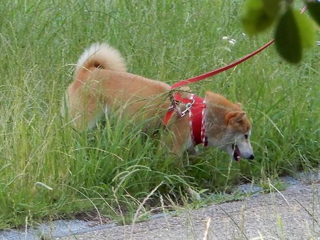 深北緑地の柴犬