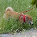 Photos: 深北緑地の柴犬