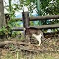 Photos: キジトラ白斑猫のカノウ君 (1)