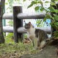 Photos: キジトラ白斑猫のカノウ君 (2)