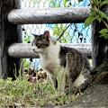 Photos: キジトラ白斑猫のカノウ君 (3)