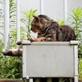 Photos: キジトラ猫のジャックナイフ
