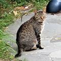 Photos: キジトラ猫の清兵衛 (1)