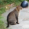 Photos: キジトラ猫の清兵衛 (2)