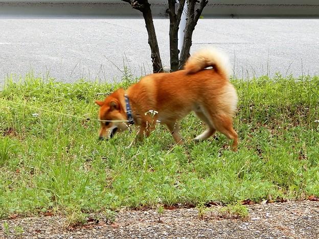 加納緑地で見かけた柴犬
