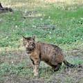 Photos: キジトラ猫のネコロン (2)
