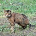 Photos: キジトラ猫のネコロン (3)