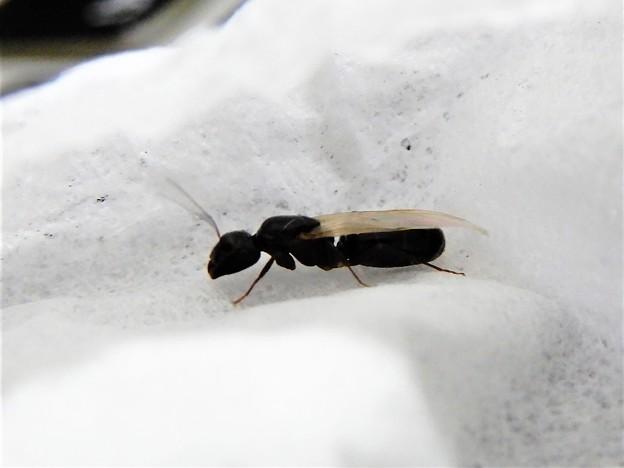 翅蟻 (6)