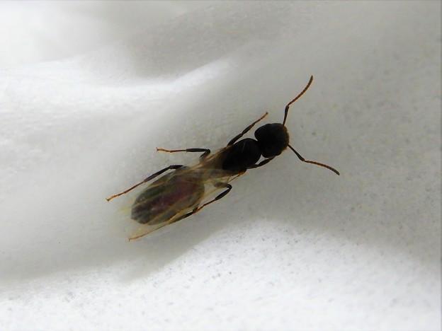 翅蟻 (7)