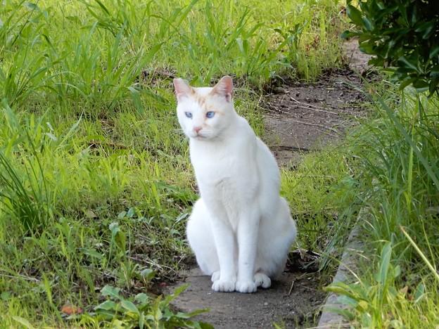 水走公園の白猫・アオメ (1)