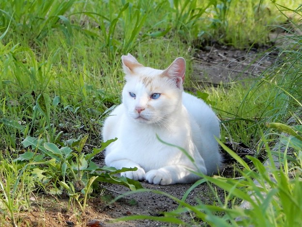 水走公園の白猫・アオメ (2)