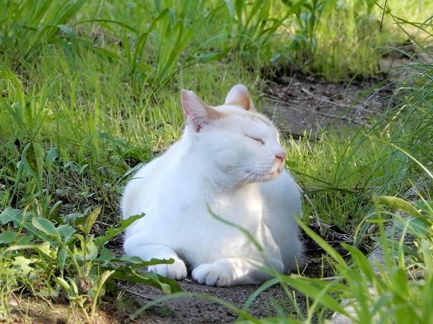 水走公園の白猫・アオメ (3)