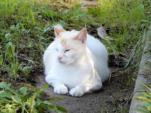 水走公園の白猫・アオメ (4)