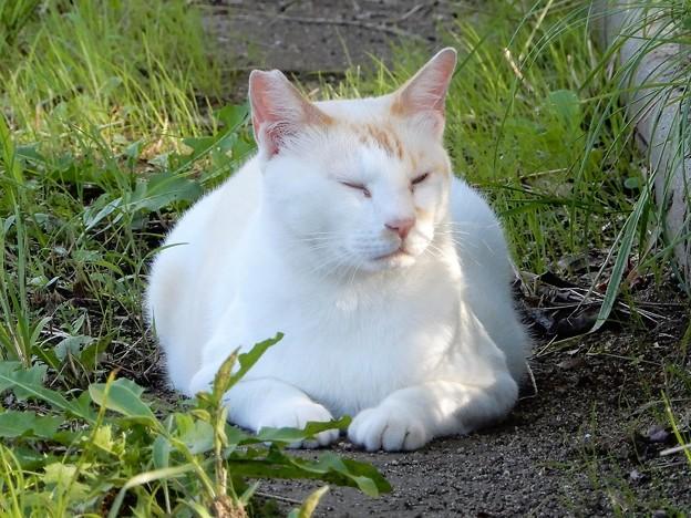 水走公園の白猫・アオメ (5)