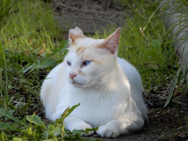水走公園の白猫・アオメ (6)