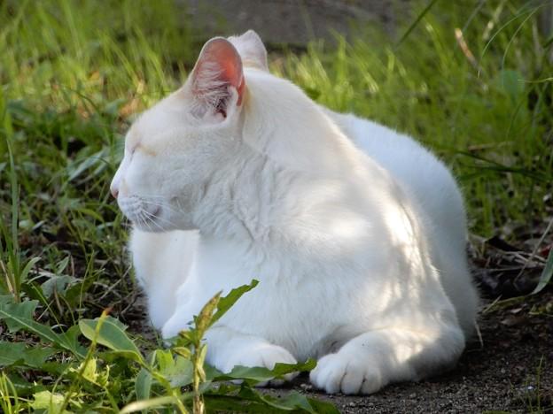 水走公園の白猫・アオメ (7)