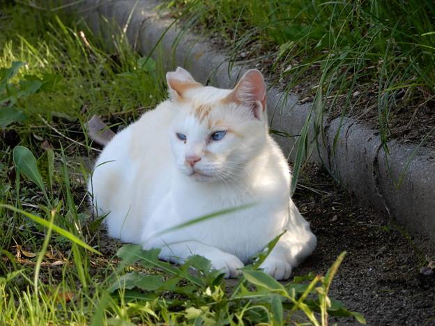 水走公園の白猫・アオメ (8)
