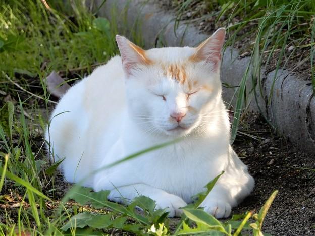 水走公園の白猫・アオメ (9)
